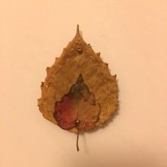 cherry leaf 1