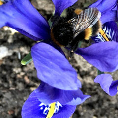 bumble on iris - hawthorn