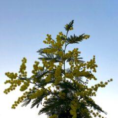 mimosa adapted