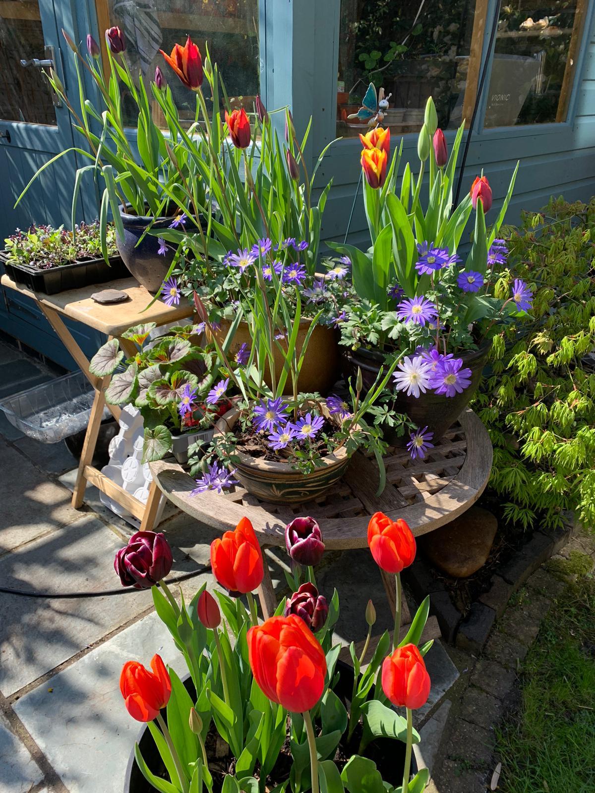 fran tulips