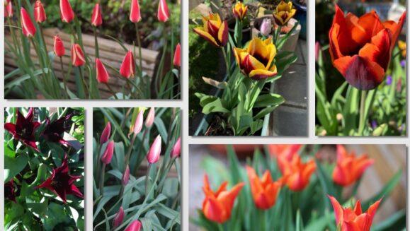 tulip montage final
