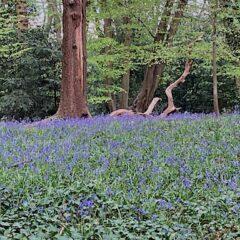Antonia - bluebells in Queens wood