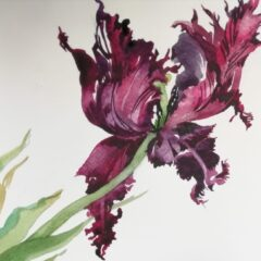 Susan Carter tulip - storm ravaged tulip